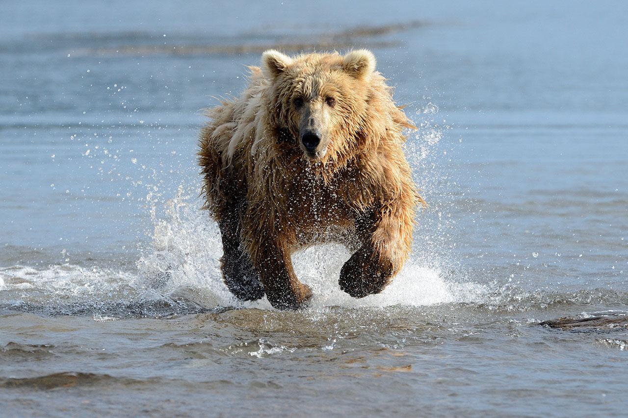 Brown bear running.