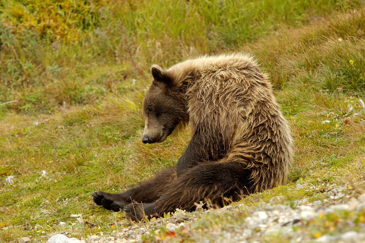 Bear sitting.