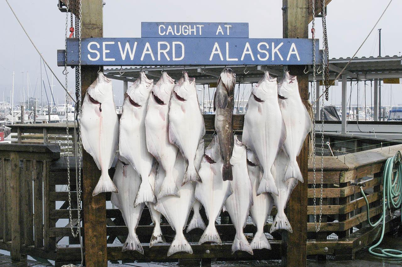 Halibut on display. Text: Caught at Seward Alaska.